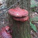 Hemlock fungi