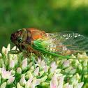 Dogday Cicada