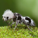 """Panda Ant"" (wingless wasp)"