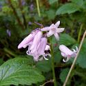 Bluebell (pink v)