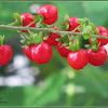 Pigeon Berry Plant