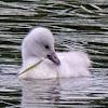 Trumpeter Swan (cygnet)