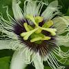Passion flower & passion fruit