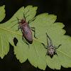 Red-shouldered bug (freshly molted adult)