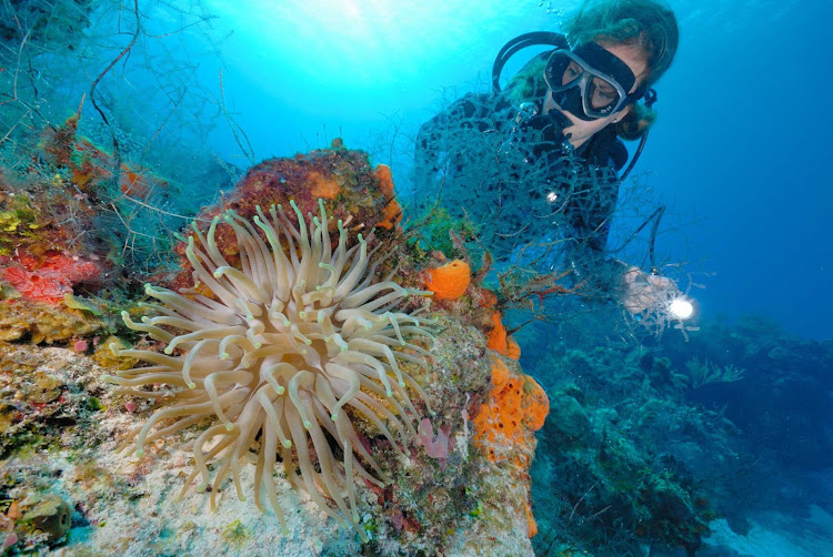 A scuba diver finds an anemone off the coast of Cozumel, Mexico.