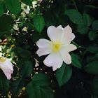 Dog rose / Wild rose