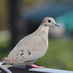 Mourning Dove by Ruben Guerrero - Animals Birds