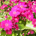 Pink florist cineraria