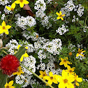 Sweet alyssum with yellow coreopsis