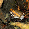 Asiatic painted frog
