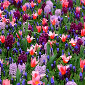 colorful blue polka dot garden by Marjorie Speiser - Flowers Flower Gardens ( colorful, color, tulip, flowers, garden,  )