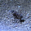Antlion larva and Ant.