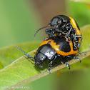 Swamp milkweed leaf beetles (mating)