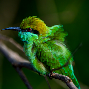 Babe Bee Eater by John Anthony - Animals Birds