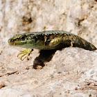 Carpetane rock lizard, Lagartija carpetana