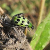 Green Western Spotted Cucumber Beetle