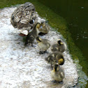 Mallard duck and her ducklings