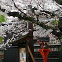 KyotoGIonSakuraPhotos