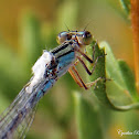 Damselfly with unknown material on wings