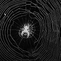 Spider (Ragno)