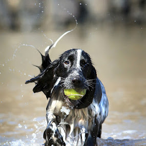 Practicing for the Season! by Dave Roberts - Animals - Dogs Playing ( gundogs, working dogs, dogs playing )