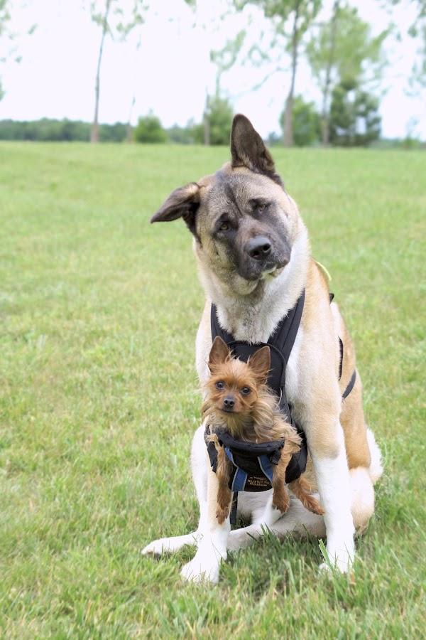 Brotherly Bond by Ali Platt - Animals - Dogs Portraits ( bond, akita, opposites attract, yorkshire terrier, yorkie, yorkshire, pals, akc, buddies, american akita )