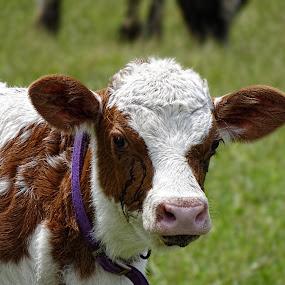 Curious Calf by Vivian Gordon - Animals Other Mammals ( vigor, calf, bovine, cow, animal )
