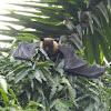 Indian Giant Fruit Bat