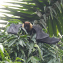 Indian Giant Fruit Bat