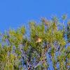 Common Chiffchaff (Δενδροφυλλοσκόπος)