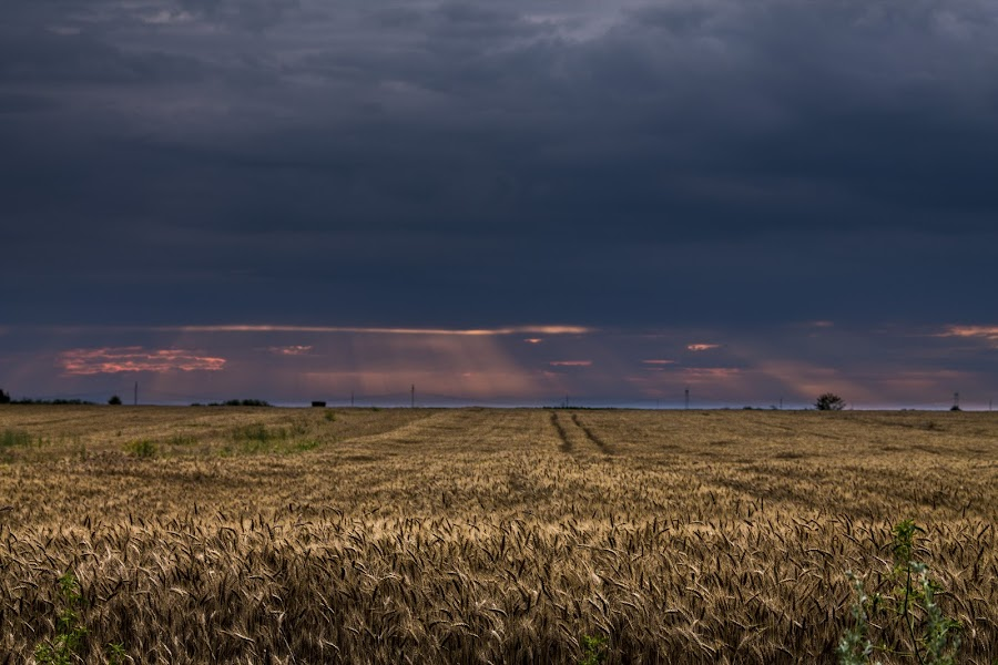 cornland by Ghimpe Cristian - Landscapes Prairies, Meadows & Fields