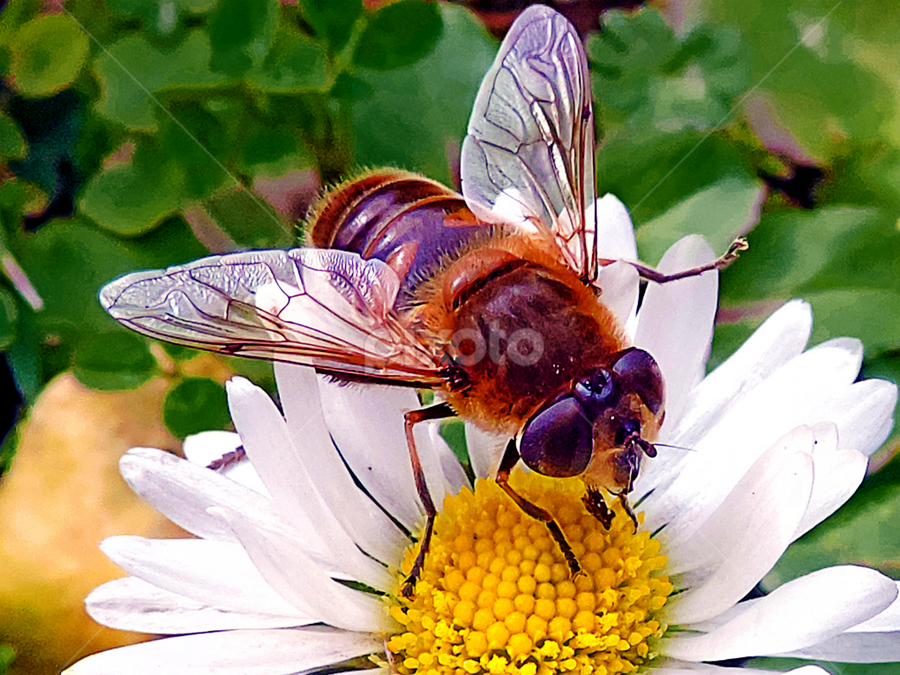 insect on a daisy by LADOCKi Elvira - Animals Insects & Spiders ( nature, color, 2014, plants, flowers, garden,  )