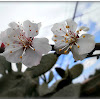 Apricot flowers.