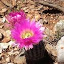 Arizona Rainbow Cactus