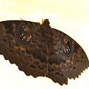Erebus Moth