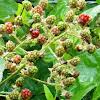 Himalaya blackberry