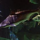 Iridescent Shark Catfish