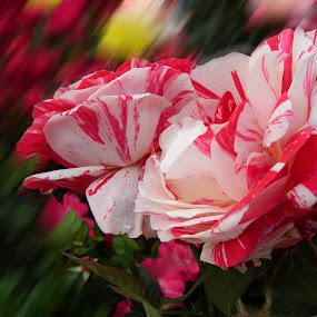 by Sumanta Thakur - Flowers Flower Arangements