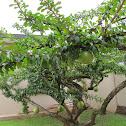 Calabash tree