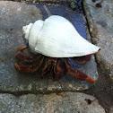 Hermit crab  Tree crab  solder crab