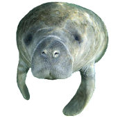 Manatee Head Sticker