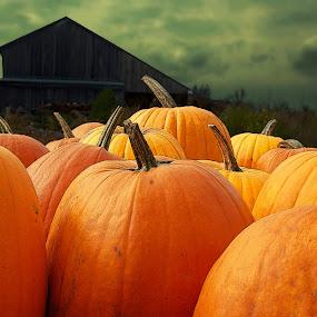 Pumpkin Barn by Robin Amaral - Public Holidays Halloween ( clouds, farm, pumpkin patch, barn, bushes, pumpkin, pumpkins, halloween,  )