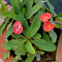 Crown of Thorns, Christ Plant