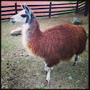Llama; guanaco