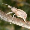 Eucalyptus weevil?