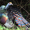 Pavo ocelado, ocellated turkey