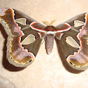 Forbes' Silkmoth