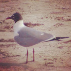 Laughing gull (adult breeding)