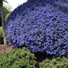 California lilac 'Blue Sapphire'