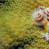 Christmas Tree Feather Worm